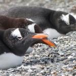 Argentina : Ushuaia :  Pinguinera «Isla Martillo»